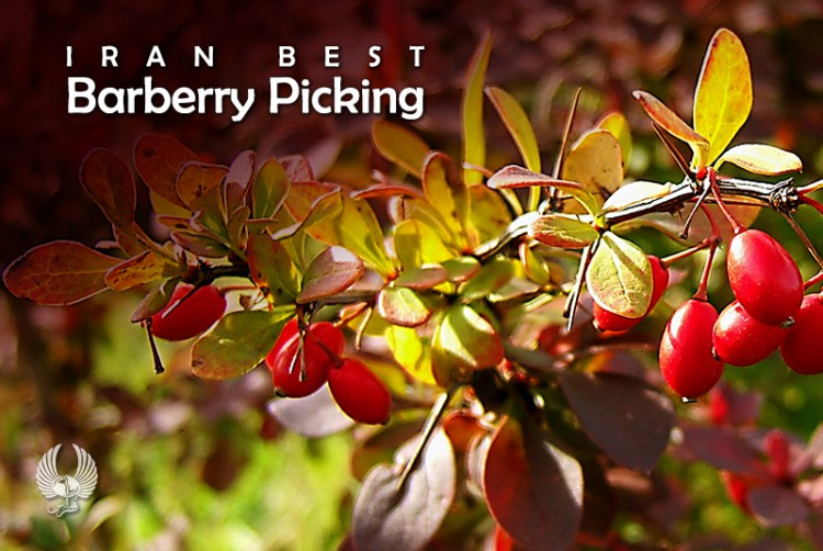 Iran Best Barberry Picking