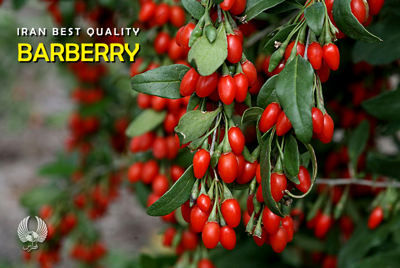 Iran Best Quality Barberry